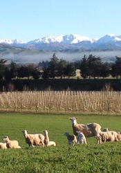 Picture of North Canterbury Region, Cheviot Hills District