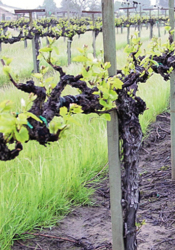 Picture of About the Vineyard